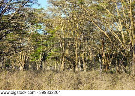 Travel to the Horn of Africa. Kenia. Desert acacia thickets on the shores of Lake Nakuru. Great Rift Valley.