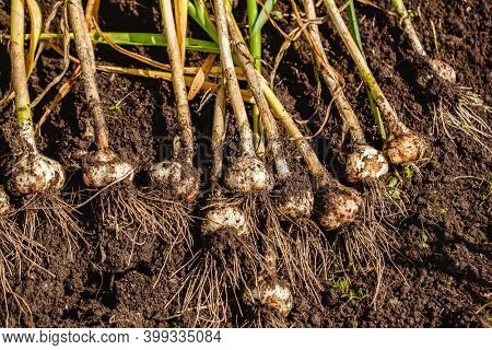 Harvest garlic in a garden bed. growing vegetables in the garden in the village. Root crops in the fall. Autumn gathering