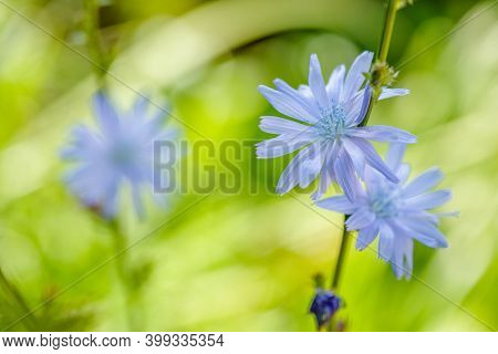 Chicory. Chicory flowers growing in nature. Plant used in cooking and dietary food
