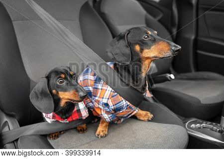 Two Generations Of Funny Dachshund Dogs In Hipster Shirts Sit In Passenger Seat Of Car Wearing Seatb