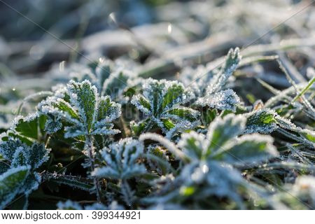 Green Grass In Frost. Beautiful Bright Background Of The First Morning Frosts. Macrophotography Of I