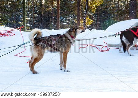 Exotic trip to the Arctic. Dog sled carries a sled with tourists. The toboggan run is rolled in deep snow. The sun is low on the horizon. Travel to Santa Claus. Short winter day in the Lapland