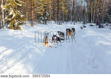 Exotic trip to the Arctic. Dog sled resting. The toboggan run is rolled in deep snow. The sun is low on the horizon. Travel to Santa Claus. Short winter day in the Lapland