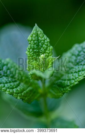 Fresh Mint In The Garden. Green Mint Close Up. Scented Mint For Tea. High Quality Photo