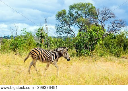 South Africa. The famous Kruger Park. Savannah zebra crosses a narrow road in the park. Animals live and move freely in the  savannah. The concept of exotic and photo tourism