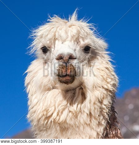 Llama Or Lama, One Animal Head Portrait, Andes Mountains, Peru