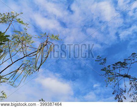 Moringa Oleifera Lam, Guilandina, Hyperanthera, Zeylanica Burmann, Moringaceae Vegetable And Thai He