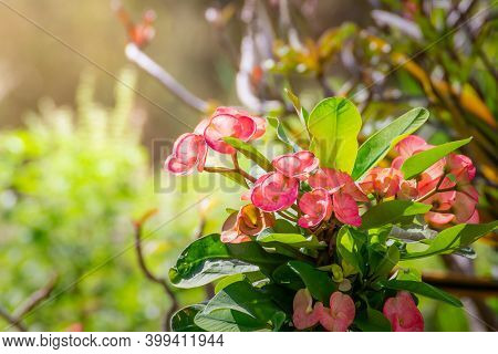 Red Poi Sian Flowers Blooming In The Garden On The Morning Natural Background, Euphorbia Milii Flowe