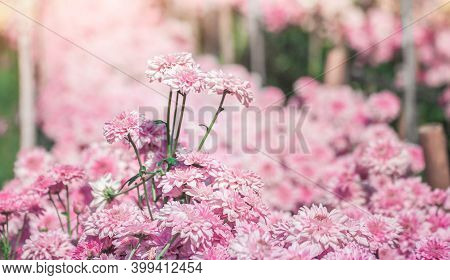 Beautiful Bright Pink Chrysanthemum Flower On The Background Of Other Chrysanthemum Flowers (shallow