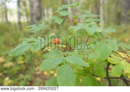 Dogrose On Brush Among Green And Yellow Leaves Growing In Wild Woodland. Herbal Netural Eco Berries