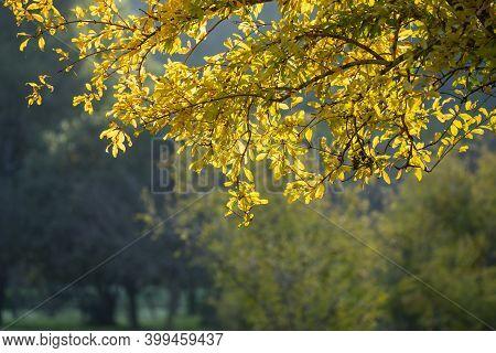 Back Lit Yellow Autumn Tree Foliage In An Israeli Forest Near Jerusalem