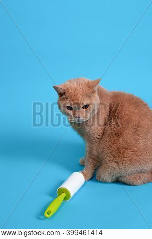 A Red Fluffy British Cat Sits Near A Sticky Roller For Cleaning Clothes From Wool, Hair, Dirt And De