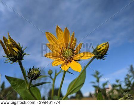 The Jerusalem Artichoke Flowers  In A Farmland