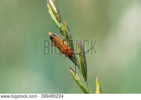 Macro Shot Of A Red Soldier Beetle (rhagonycha Fulva) On A Blade Of Grass