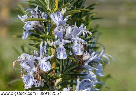 Rosemary (salvia Rosmarinus)