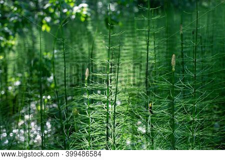 Horsetail Grows In A Swamp, Ancient Primitive Plant
