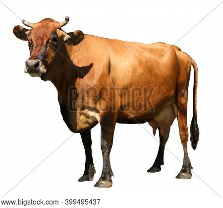 Cute Brown Cow On White Background. Animal Husbandry