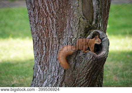 I Want My Nuts. Squirrel Sit At Hollow Of Tree Trunk. Red Squirrel In Park. Cute Furry Animal On Nat