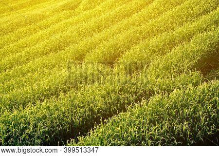 Beautiful View Scenery Of Rice Terraced At Baan Pa Bong Piang,chiang Mai Province,thailand