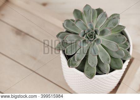 Top View Of Echeveria Imbricata Or Blue Rose Echeveria, Succulent In A Pot On Wooden Rack. Cacti, Ca