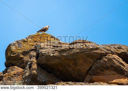 Barrow Eagle Or Long-legged Buzzard Or Buteo Rufinus.