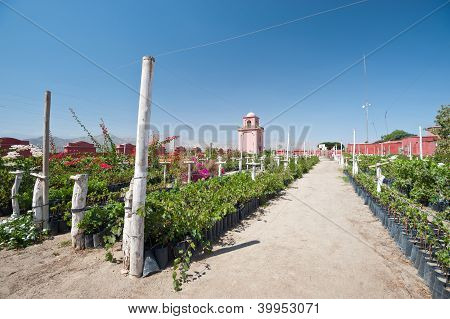 Vineyard - Ica, Peru