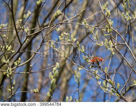 European Peacock Butterfly (aglais Io)  Feeding On Catkin, Enjoying Sunshine, Tree Blooming In Sprin