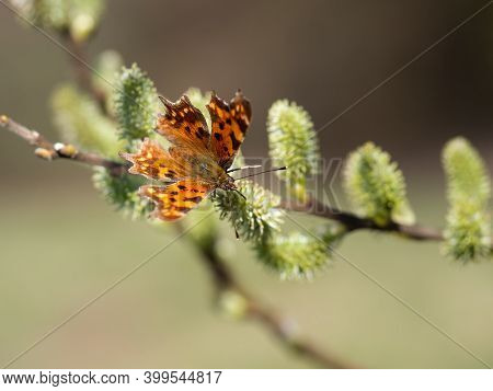 Comma Butterfly (polygonia C-album) Feeding On Catkin, Tree Blooming In Spring