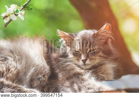 Siberian Cat Lying In The Spring Orchard. Longhair Cat Outdoors In Spring
