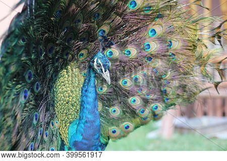 Close-up Of Peacock Head On Background Of Raising The Upper-tail Coverts Into An Arched Fan. Peacock