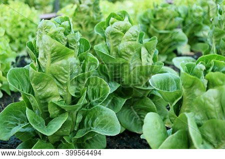 Closeup Of Baby Cos Lettuces Growing In The Greenhouse