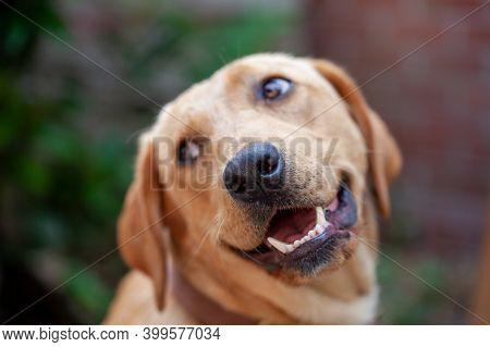 A Beautiful, Young Golden Labrador Retriever With A Friendly Smile On His Face. High Quality Photo