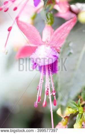 Fuchsia Hybrida. Exotic Flower With Striking Two-tone Colors. Selected Focus. . High Quality Photo