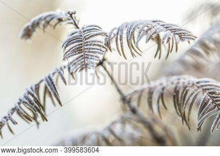 Metasequoia In Autumn Colours, Decorated With A Frozen Frost. Macrophotography Of Icicles Of Frost O