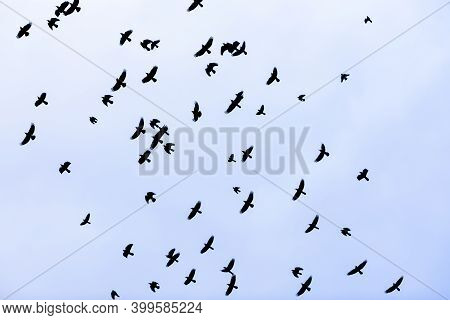 A Flock Of Birds Crows Flying In The Sky. Crowd Concept.