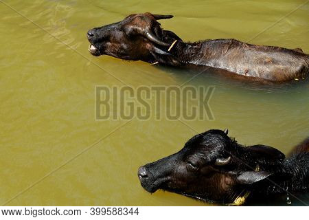 Buffalos Bathing In A Small Stream In Sun Light