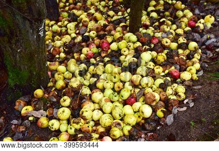 Rotten Apples As Discarded Garbage Lie On The Ground. Bad Apple And Putrid Fruits Vegetable. Food Ru