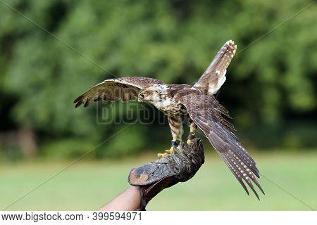 The Saker Falcon (falco Cherrug) Portrait. Portrait Of A Big Falcon Sitting On A Falconry Glove With