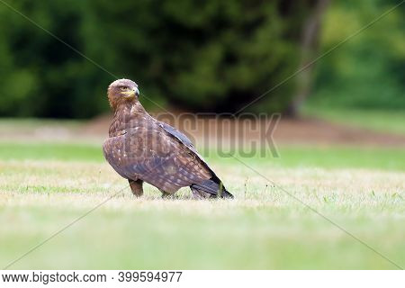 The Steppe Eagle (aquila Nipalensis) Sitting On The Ground On The Grass. Big Eagle In Green.