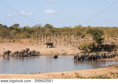 Landscape Of Two Large Herds Of African Elephants Coming To A Waterhole To Drink And Bathe In Kruger