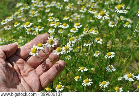 Closeup Of Hand, Picking Blooming Wildflowers Chamomile (matricaria Chamomilla) - Homeopathic Flower