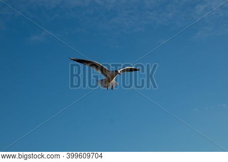 Seagull On A Background Of Blue Sky. Seagull Flies Across The Sky.