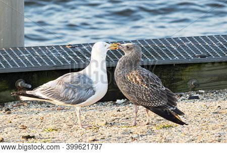 A Male And A Female Seagul Standing On The Sand Kissing.