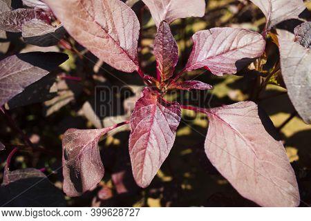 Red Spinach Amaranth Leaves In Kitchen Garden Growing