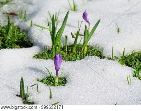 Purple Crocus In The Snow