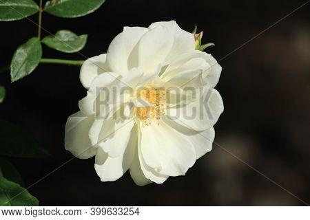 Beautiful White Rosa Arvensis Flower In The Garden In Spain