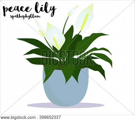 Peace Lily House Plant In The Pot Vector Illustration With A Name  Text