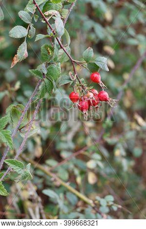 Mature Red Accessory Achene Fruit Of California Rose, Rosa Californica, Rosaceae, Native Androgyne P