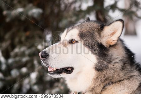 Alaskan Malamute In Winter Forest. Close Up Portrait. Side View. Mouth Open.