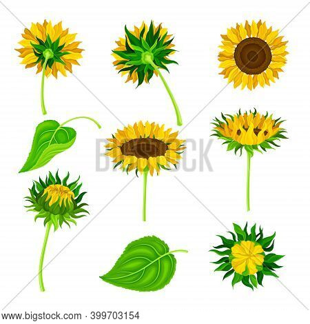 Sunflower Or Helianthus As Annual Flowering Plant With Round Flower Head Vector Set